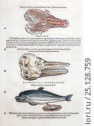 Woodcut illustration of dolphin's placenta, skull and birth by Gesner. Gesner 'Icones Animalium', 1560. Generally animals were grouped by habitat, so dolphins... Стоковое фото, фотограф Paul D Stewart / Nature Picture Library / Фотобанк Лори