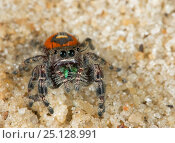 Red beauty jumping spider (Phidippus pulcherrimus) Florida, USA, April. Стоковое фото, фотограф Barry Mansell / Nature Picture Library / Фотобанк Лори