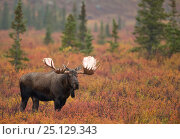 Купить «Moose bull (Alces alces) walking in forest clearing, Denali National Park, Alaska, USA, September», фото № 25129343, снято 23 июля 2018 г. (c) Nature Picture Library / Фотобанк Лори