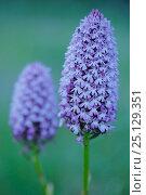 Купить «Pyramidal orchid (Anacamptis pyramidalis) Sierra de Grazalema Natural Park, southern Spain, June.», фото № 25129351, снято 23 июля 2018 г. (c) Nature Picture Library / Фотобанк Лори