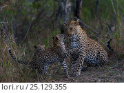 Купить «RF -  Leopard (Panthera pardus) playing wither her cubs, Londolozi Private Game Reserve, Sabi Sands Game Reserve, South Africa.», фото № 25129355, снято 9 декабря 2018 г. (c) Nature Picture Library / Фотобанк Лори