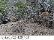 Купить «Brown hyaena (Hyaena brunnea) with aggressive Leopard (panthera pardus)», фото № 25129403, снято 24 июня 2019 г. (c) Nature Picture Library / Фотобанк Лори