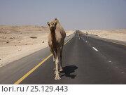 Купить «Arabian camel, Dromedary (Camelus dromedarius) on the road, Oman, August», фото № 25129443, снято 16 июля 2018 г. (c) Nature Picture Library / Фотобанк Лори