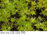 Купить «Capillary Thread-moss (Bryum capillare) Yorkshire, UK October.  Focus-stacked image», фото № 25129795, снято 22 августа 2018 г. (c) Nature Picture Library / Фотобанк Лори