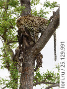 Купить «Leopard (Panthera pardus) in tree with another dead leopard carcass. Rare example of cannibalism. Londolozi Private Game Reserve, Sabi Sands Game Reserve, South Africa. Sequence 11 of 12», фото № 25129991, снято 11 декабря 2018 г. (c) Nature Picture Library / Фотобанк Лори