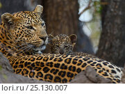 Купить «Leopard (Panthera pardus) mother resting with cubs Londolozi Private Game Reserve, Sabi Sands Game Reserve, South Africa.», фото № 25130007, снято 16 декабря 2019 г. (c) Nature Picture Library / Фотобанк Лори