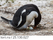 Купить «Gentoo penguin (Pygoscelis papua) adult turning egg in nest, Saunders Island, Falkland Islands, November.», фото № 25130027, снято 18 сентября 2018 г. (c) Nature Picture Library / Фотобанк Лори