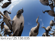 Demoiselle crane (Anthropoides virgo) low angle fisheye perspective of feeding cranes. Khichan, Western Rajasthan, India. December, 2015. Стоковое фото, фотограф Yashpal Rathore / Nature Picture Library / Фотобанк Лори