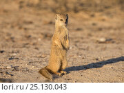Yellow mongoose (Cynictis penicillata) young pup standing, Kgalagadi Transfrontier Park, Northern Cape, South Africa. Стоковое фото, фотограф Ann & Steve Toon / Nature Picture Library / Фотобанк Лори