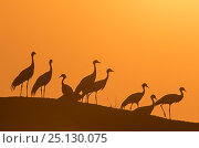 Demoiselle cranes (Anthropoides virgo) silhouetted at dusk on a wall during their winter migration.Khichan, Western Rajasthan, India. February. Стоковое фото, фотограф Yashpal Rathore / Nature Picture Library / Фотобанк Лори