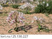 Купить «Nerine (Nerine laticoma) Kgalagadi Transfrontier Park, South Africa», фото № 25130227, снято 26 мая 2019 г. (c) Nature Picture Library / Фотобанк Лори