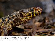Купить «Yellow-spotted night lizard (Lepidophyma flavimaculatum) captive, occurs in Central America.», фото № 25130311, снято 11 декабря 2019 г. (c) Nature Picture Library / Фотобанк Лори