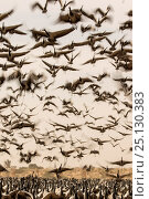 Demoiselle crane (Anthropoides virgo) flock in flight during winter migration. Khichan, Western Rajasthan, India. February 2015. Стоковое фото, фотограф Yashpal Rathore / Nature Picture Library / Фотобанк Лори