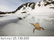 Купить «European toad (Bufo bufo) pair in amplexus in icy water, Alps, France», фото № 25130655, снято 30 марта 2020 г. (c) Nature Picture Library / Фотобанк Лори