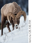 Rocky Mountain Bighorn Sheep (Ovis canadensis canadensis) male searching for grazing beneath deep snow. Lamar Valley, Yellowstone National Park, Wyoming, USA. January. Стоковое фото, фотограф Nick Garbutt / Nature Picture Library / Фотобанк Лори