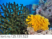 Купить «A coral drop off with soft corals (Dendronephthya sp), seafans or gorgonians (Semperina sp) and a hard coral green cup coral (Tubastrea micrantha) Palau, Philippine Sea», фото № 25131523, снято 3 ноября 2018 г. (c) Nature Picture Library / Фотобанк Лори