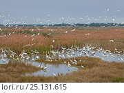 Купить «Mixed bird species feeding in shallow water: Great Egret (Ardea alba), Snowy Egret (Egretta thula), White Ibis (Eudocimus albus), Great Blue Heron (Ardea...», фото № 25131615, снято 27 января 2020 г. (c) Nature Picture Library / Фотобанк Лори