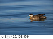 Puna teal (Anas puna) on Lake Titicaca, Bolivia. Стоковое фото, фотограф Cyril Ruoso / Nature Picture Library / Фотобанк Лори