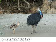 Купить «Cassowary (Casuarius casuarius) father and chick walking on beach. Far North Queensland, Queensland, Australia.», фото № 25132127, снято 18 января 2019 г. (c) Nature Picture Library / Фотобанк Лори