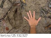 Купить «Southern Cassowary (Casuarius casuarius) claw print next to human hand.  Queensland, Australia.», фото № 25132527, снято 18 января 2019 г. (c) Nature Picture Library / Фотобанк Лори