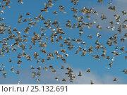 Huge flock of Sulphur-crested Cockatoo (Cacatua galerita)  flying... Стоковое фото, фотограф Jurgen Freund / Nature Picture Library / Фотобанк Лори