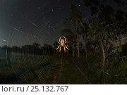 Купить «Orb weaver spider (Araneidae) at night with starry night, Queensland, Australia.», фото № 25132767, снято 14 июля 2020 г. (c) Nature Picture Library / Фотобанк Лори