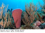 Купить «Pink vase sponge (Niphates digitalis)  and Porous sea rods (Pseudoplexaura sp.) Hol Chan Marine Reserve, Belize.», фото № 25133027, снято 28 мая 2018 г. (c) Nature Picture Library / Фотобанк Лори