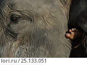 Купить «Close up of Domestic Asian elephant (Elephas maximus) and foot of person riding it. Kaziranga National Park, Assam, North East India. November 2014.», фото № 25133051, снято 25 марта 2019 г. (c) Nature Picture Library / Фотобанк Лори