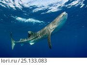 Купить «Whale shark (Rhincodon typus) Cenderawasih Bay, West Papua. Indonesia.», фото № 25133083, снято 26 марта 2019 г. (c) Nature Picture Library / Фотобанк Лори