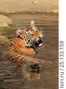 Купить «Bengal tiger (Panthera tigris tigris) cooling off in waterhole during summer heat, Ranthambhore, India», фото № 25133159, снято 28 мая 2020 г. (c) Nature Picture Library / Фотобанк Лори