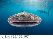 Купить «Whale shark (Rhincodon typus) front view portrait, Cenderawasih Bay, West Papua. Indonesia.», фото № 25133167, снято 26 марта 2019 г. (c) Nature Picture Library / Фотобанк Лори