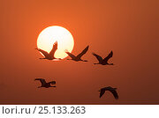 Demoiselle cranes (Anthropoides virgo) flying at sunrise during migration. Khichan, Western Rajasthan, India. December. Стоковое фото, фотограф Yashpal Rathore / Nature Picture Library / Фотобанк Лори
