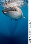 Купить «Whale shark (Rhincodon typus) at surface, Cenderawasih Bay, West Papua. Indonesia.», фото № 25133327, снято 26 марта 2019 г. (c) Nature Picture Library / Фотобанк Лори
