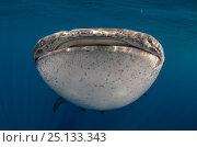 Купить «Whale shark (Rhincodon typus) Cenderawasih Bay, West Papua. Indonesia.», фото № 25133343, снято 26 марта 2019 г. (c) Nature Picture Library / Фотобанк Лори