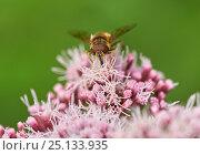 Купить «Hoverfly (Eristalis arbustorum) on Hemp Agrimony (Eupatorium cannabinum) Sussex, UK», фото № 25133935, снято 22 февраля 2019 г. (c) Nature Picture Library / Фотобанк Лори