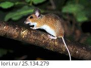 Купить «Wood mouse (Apodemus sylvaticus) climbing in hedge, Dorset, UK August», фото № 25134279, снято 20 октября 2018 г. (c) Nature Picture Library / Фотобанк Лори