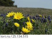 Купить «Spring pheasant's eye (Adonis vernalis) and Grape hyacinth (Muscari neglectum) Lower Austria, Austria», фото № 25134515, снято 23 октября 2019 г. (c) Nature Picture Library / Фотобанк Лори