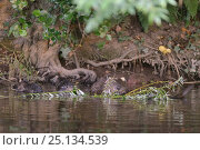 Купить «Eurasian beaver (Castor fiber) mother and four of her five kits feeding on a Willow sapling she has cut for the family , River Otter, Devon, UK, July....», фото № 25134539, снято 28 мая 2020 г. (c) Nature Picture Library / Фотобанк Лори