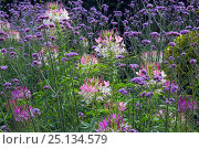 Купить «Spider flowers (Cleome hassleriana) and  South American vervain  (Verbena bonariensis) cultivated plants growing in garden, Norfolk, England, UK, August.», фото № 25134579, снято 17 августа 2018 г. (c) Nature Picture Library / Фотобанк Лори
