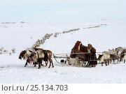 Купить «Nenet woman leading Reindeer (Rangifer tarandus) sleds on spring migration across tundra. Yar-Sale district, Yamal, Northwest Siberia, Russia. April 2016.», фото № 25134703, снято 19 июля 2019 г. (c) Nature Picture Library / Фотобанк Лори