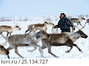 Купить «Nenet herder lassoing draught reindeers (Rangifer tarandus). Yar-Sale district, Yamal, Northwest Siberia, Russia. April 2016.», фото № 25134727, снято 19 июля 2019 г. (c) Nature Picture Library / Фотобанк Лори