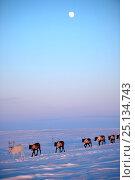 Купить «Reindeer (Rangifer tarandus) herd migrating in spring dusk under moon. Yar-Sale district, Yamal, Northwest Siberia, Russia. April.», фото № 25134743, снято 19 июля 2019 г. (c) Nature Picture Library / Фотобанк Лори