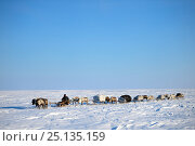 Nenet herder drives Reindeer (Rangifer tarandus) sleds on spring migration across tundra. Yar-Sale district, Yamal, Northwest Siberia, Russia. April 2016. Стоковое фото, фотограф Eric Baccega / Nature Picture Library / Фотобанк Лори