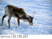 Купить «Reindeer (Rangifer tarandus) grazing on Lichen under the snow.  Yar-Sale district, Yamal, Northwest Siberia, Russia. April.», фото № 25135251, снято 19 июля 2019 г. (c) Nature Picture Library / Фотобанк Лори