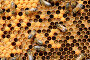 European worker honey bees (Apis mellifera) on honeycomb feeding larvae in cells. Lorraine, France. August., фото № 25135315, снято 18 июля 2017 г. (c) Nature Picture Library / Фотобанк Лори