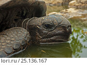 Aldabra Giant tortoise (Aldabrachelys gigantea) resting in a pool to keep cool, Grand Terre, Natural World Heritage Site, Aldabra. Стоковое фото, фотограф Willem Kolvoort / Nature Picture Library / Фотобанк Лори