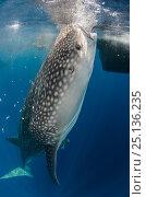 Купить «Whale Shark (Rhincodon typus) feeding at Bagan (floating fishing platform) Cenderawasih Bay, West Papua, Indonesia. Bagan fishermen see whale sharks as...», фото № 25136235, снято 26 марта 2019 г. (c) Nature Picture Library / Фотобанк Лори
