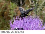 Купить «Horse fly (Pangonius funebris), a carpenter bee mimic, using its long proboscis to forage on Milk thistle (Carduus marianus), Lesbos / Lesvos, Greece, May.», фото № 25136451, снято 25 марта 2019 г. (c) Nature Picture Library / Фотобанк Лори