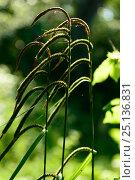 Купить «Sedge (Carex pendula) flower heads, Bord de Charente, France, June.», фото № 25136831, снято 27 мая 2018 г. (c) Nature Picture Library / Фотобанк Лори