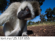 Купить «Grivet monkey (Chlorocebus aethiops) male looking into remote camera with curiosity, wide angle perspective. Maasai Mara National Reserve, Kenya.», фото № 25137055, снято 23 января 2019 г. (c) Nature Picture Library / Фотобанк Лори